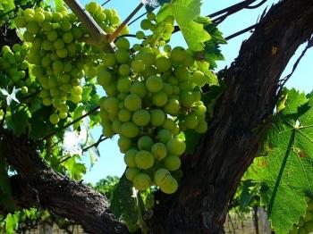 VINO BIANCO DI CUSTOZA uva trebbiano