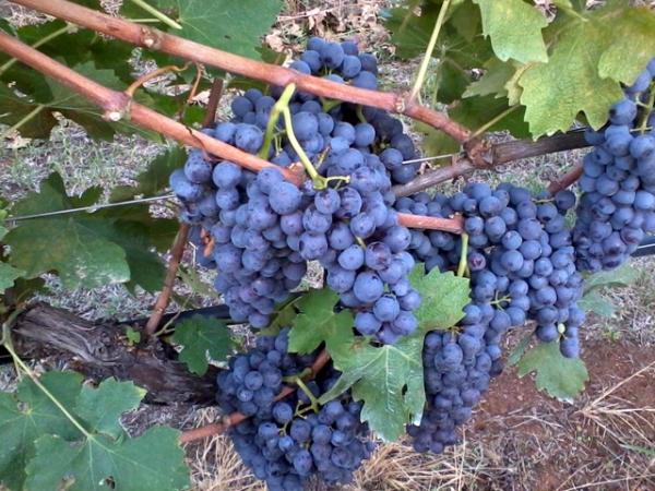 VINO BARDOLINO uva corvina veronese